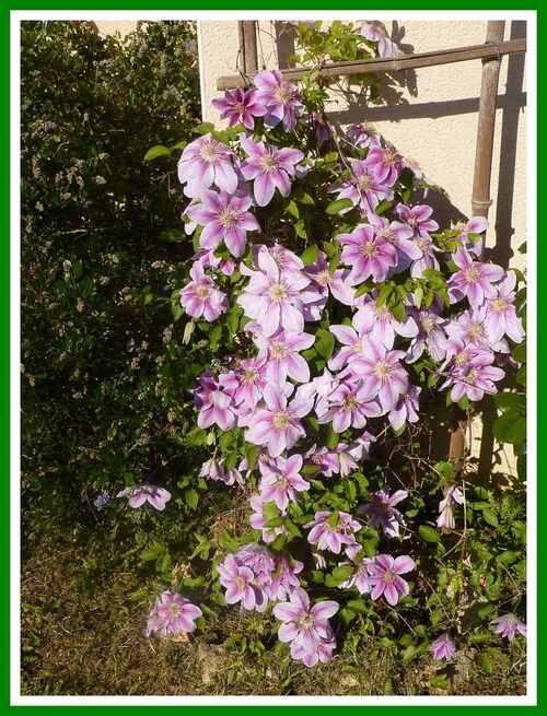 Mes Rhododendrons, Azaléees,  etc...