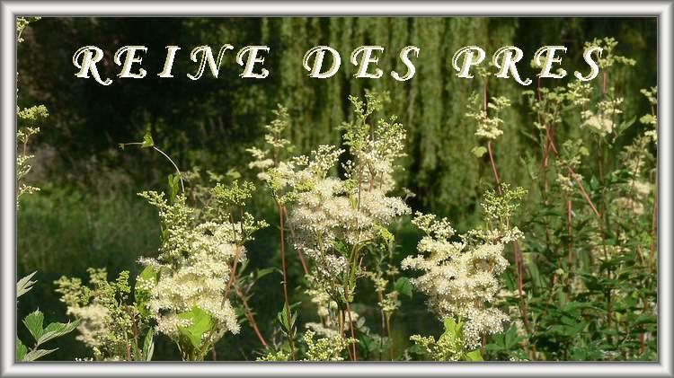 Vertus médicinales des plantes sauvages : Reine-des-prés