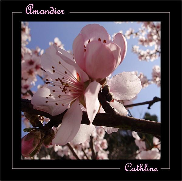 AMANDIER-ROSE.jpg