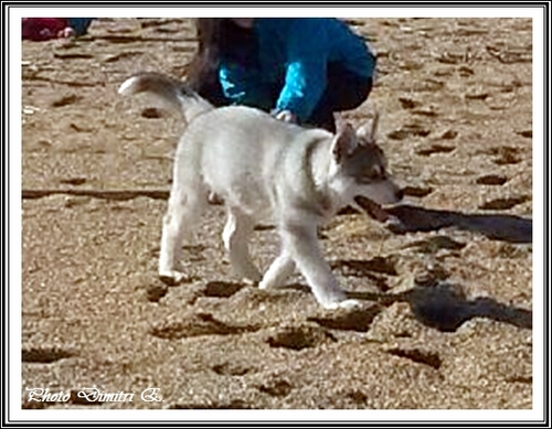 Huskys à la plage (16 mars 2015)
