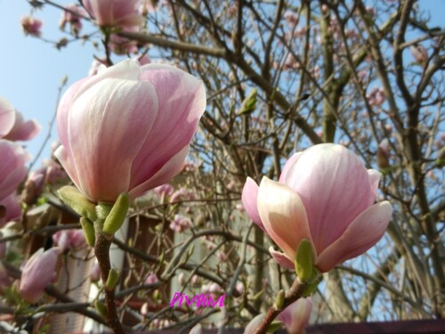 MAGNOLIAS FOR EVER
