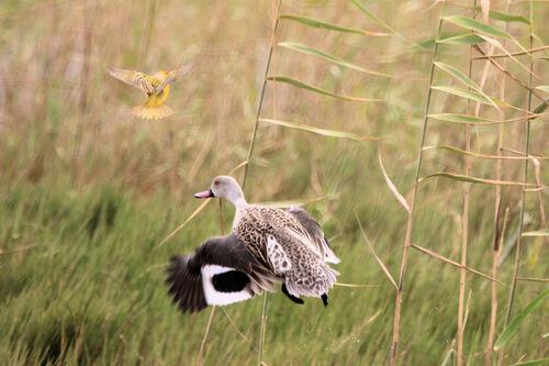 Canard du Cap (Cape Teal)