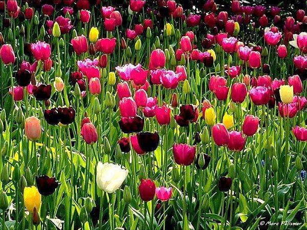 jardin tulipes