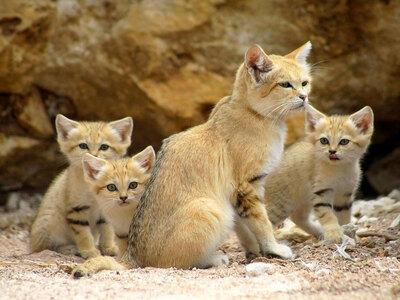 Les Chats des Sables