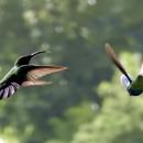 Duo (avec un colibri falle vert) - Photo : Yvon