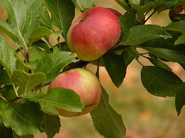 Pommes d Api 2