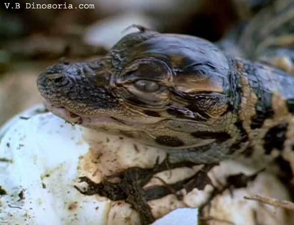 Nouveau-né alligator du Mississippi