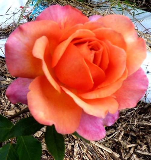la reine des fleurs au jardin de l'abbaye saison 2017 2