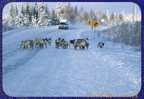Des caribous sur la route