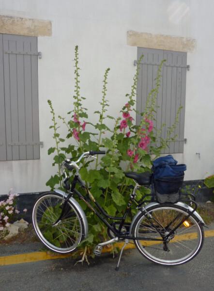 La Couarde - roses trémières et vélo