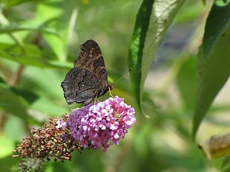 les-papillons-5523.JPG
