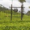 Plantation de thé - Sri Lanka