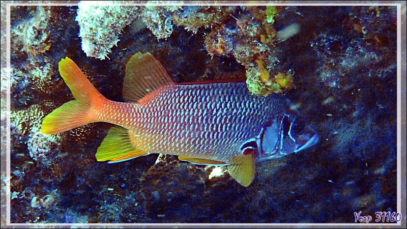 Poisson-écureuil à grande mâchoires ou Marignan sabre ou Soldat armé, Sabre squirrelfish (Sargocentron spiniferum) - Passe sud Tumakohua - Atoll de Fakarava - Tuamotu - Polynésie française