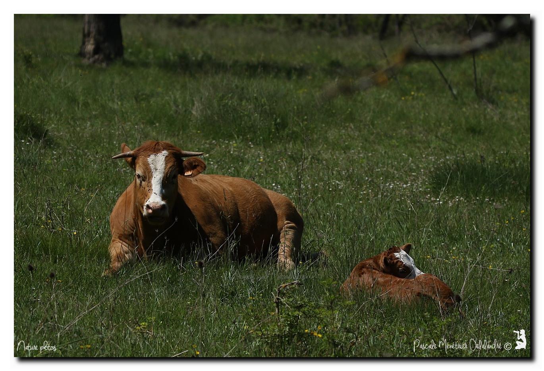 Maman vache et son nouveau né