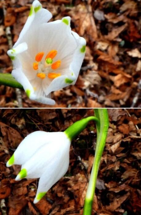 Nivéole de printemps ... les premières !