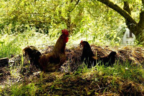 03 - Portraits de poules en couleurs
