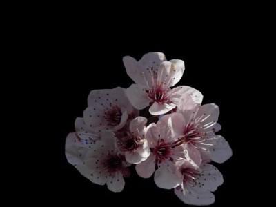 Fonds de blog Fleurs de Fruitiers
