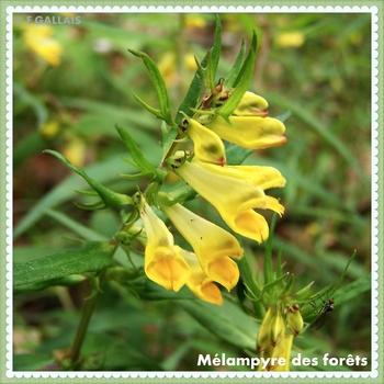 Mélampyre des forêts-Melampyrum sylvaticum