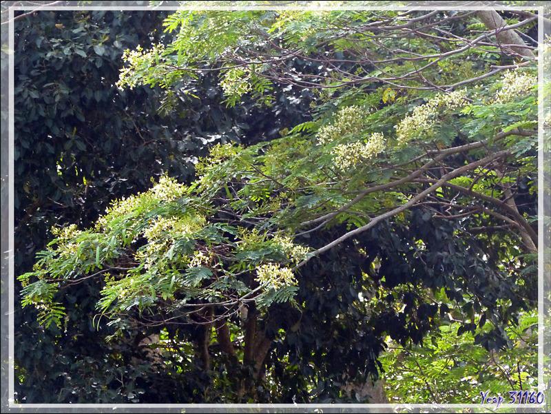 Albizia Falcata, Tumu marumaru (Falcataria moluccana) - Raiatea - Polynésie française