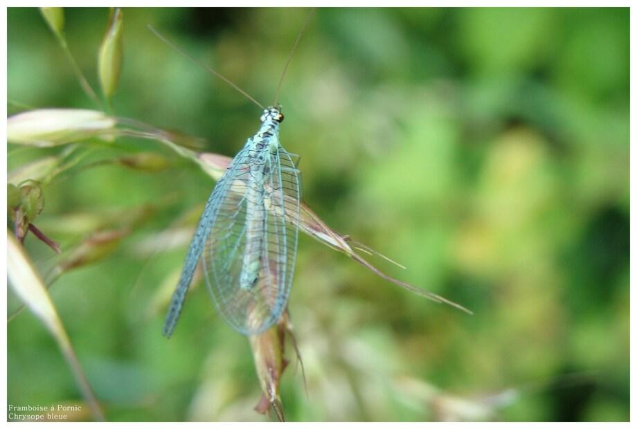 La chrysope bleue - chrysopa perla