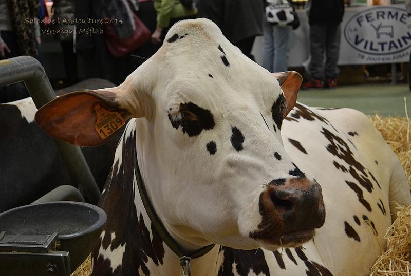 Salon de l'Agriculture 2014 : La Montbéliarde