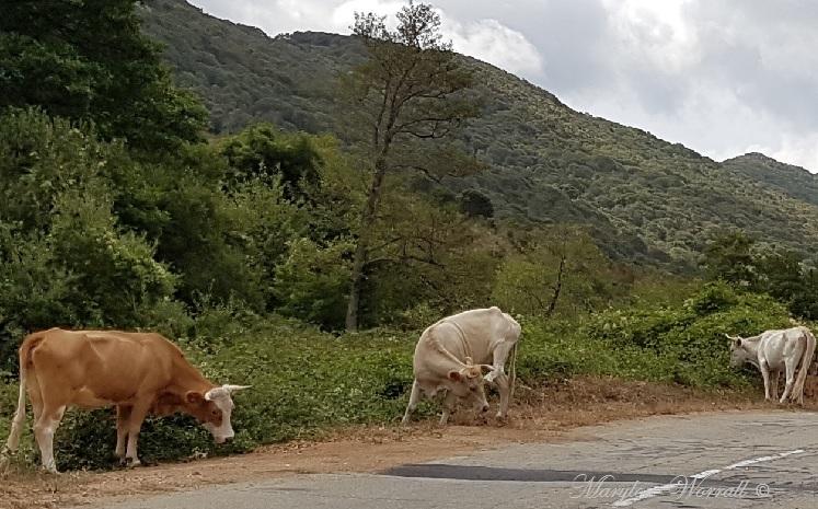 Corse : Bovins sur la route
