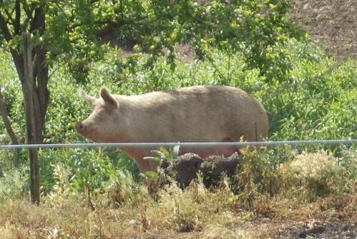 Le cochon et l'ânon