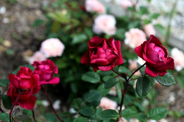 Vigour and non-stop blooming