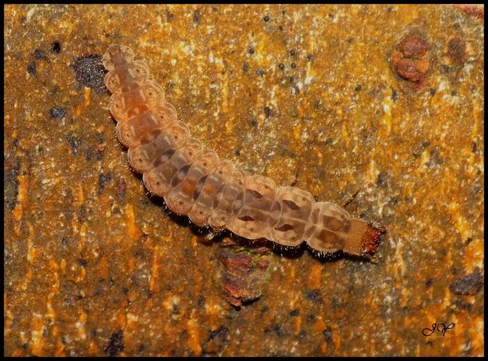 Larve Cantharidae.