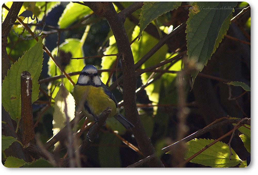 Mésange bleue - Cyanistes caeruleus - Passériformes