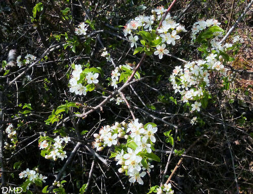 Prunus mahaleb  -  bois de Sainte Lucie