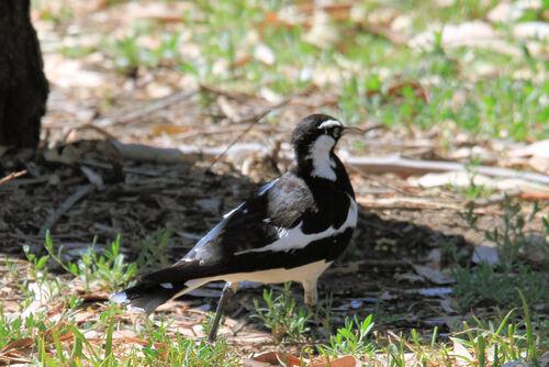 Gralline pie (Magpie-lark) Australie