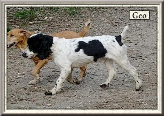 GEOo  Cocker Spaniel blanc/noir 9 ans  -   REFUGE DES BERAUDS A  ROMANS  (26) FUa2AYVvU1vPTzXCZWIpQnn2ixc@550x389