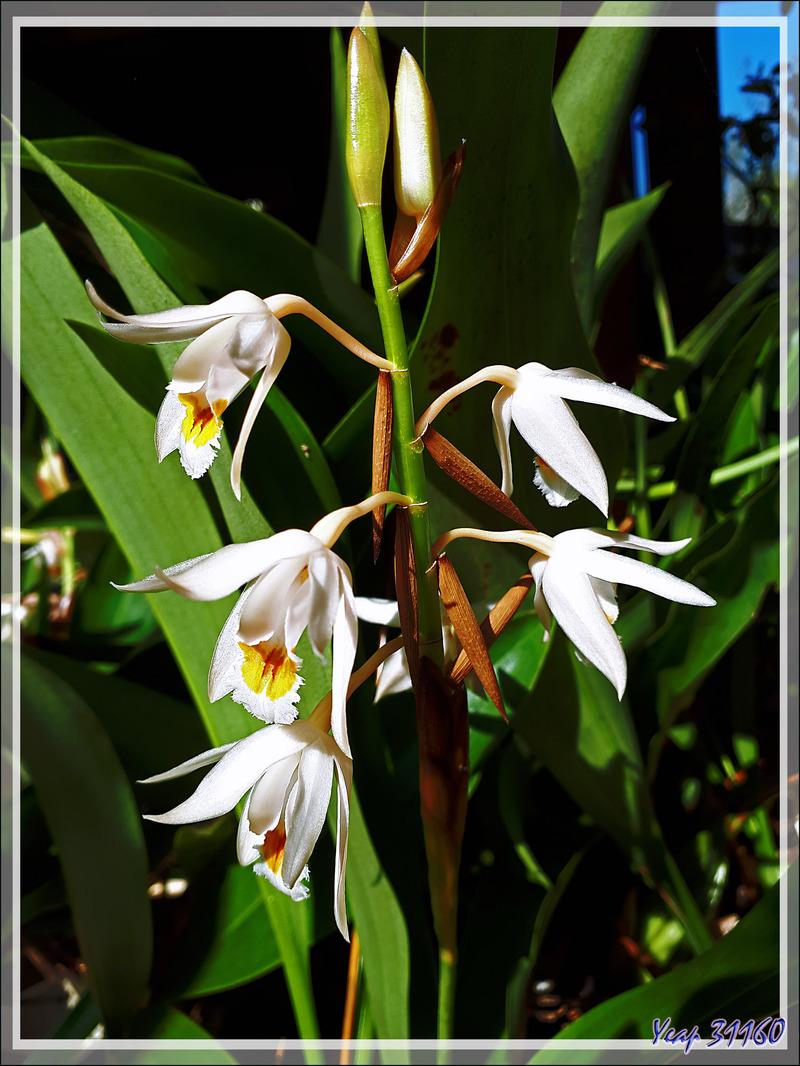 Orchidée Coelogyne (origine : Katmandou, Népal)