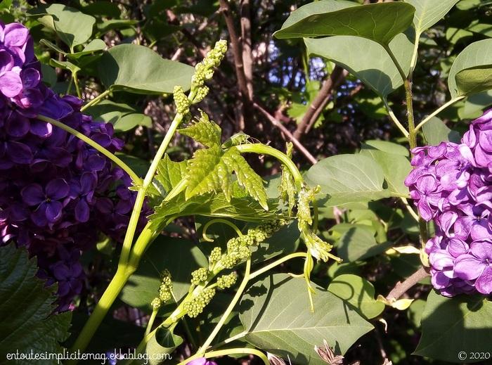 Le vinaigre blanc au lilas [DIY]