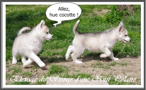 Proverbes Huskys (7 avril 2014)