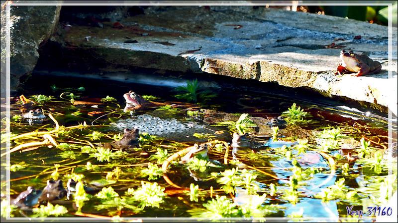 Invasion de grenouilles rousses - Lartigau - Milhas - 31