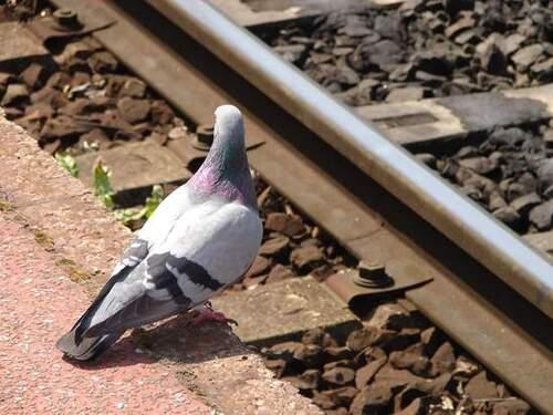 Pigeon GOP Rognac
