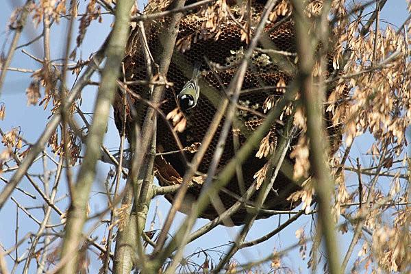 nid de frelons-5-