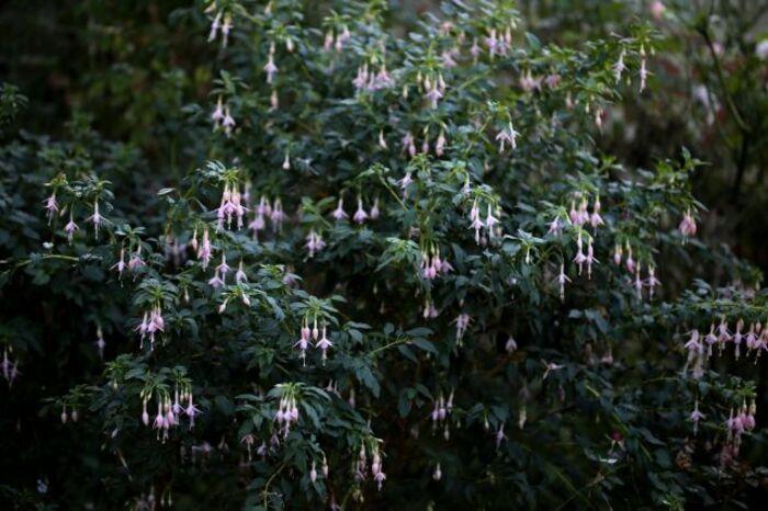 Fuchsia Whiteknight 's Pearl
