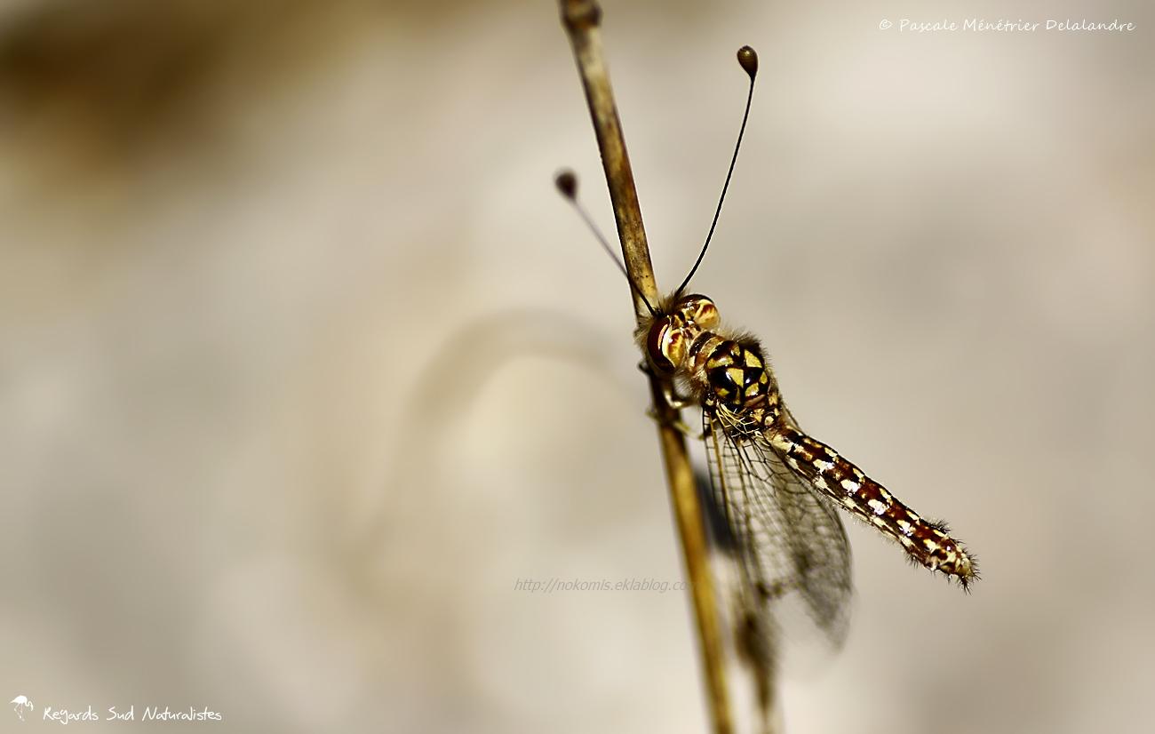 Ascalaphon du midi  ♀ - Deleproctophylla dusmeti