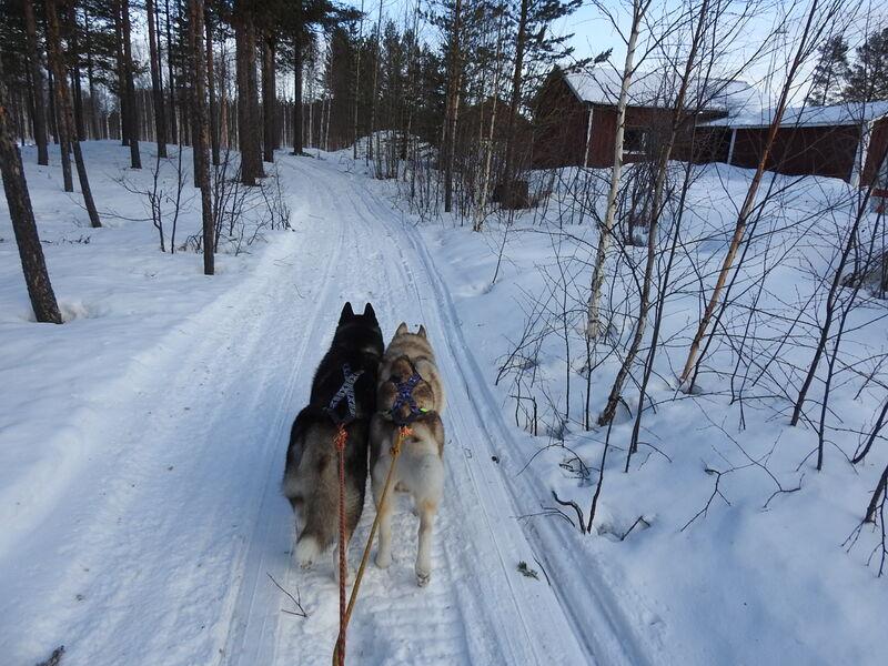 chiens des glaces en Laponie
