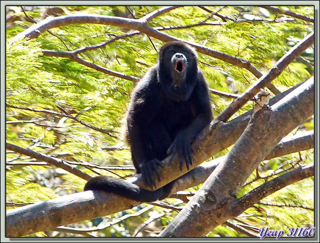 Blog de images-du-pays-des-ours : Images du Pays des Ours (et d'ailleurs ...), Singes Hurleurs: Papa, maman et moi - Entre les volcans Rincon de la Vieja et Arenal - Costa Rica
