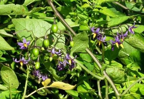Fleurs sauvages et cultivées : Douce-amère