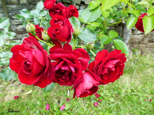 roses rouges extérieur logis