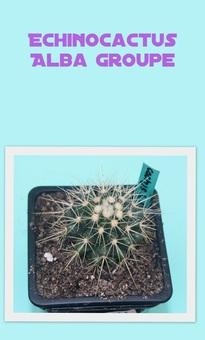 Echinocactus Alba Groupe