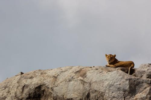 En route vers le Serengeti : notre première lionne !