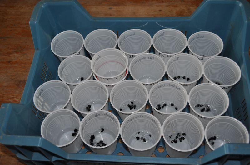 semis d'hémérocalles