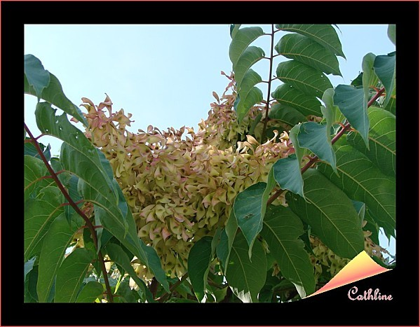 aillanthus.jpg