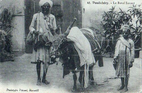 1900, Pondichéry, le boeuf savant